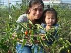 跟媽咪一起採番茄