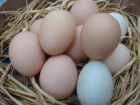 每天都會生雞蛋、鴨蛋唷!!