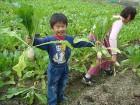 拔蘿蔔(約11~12月)